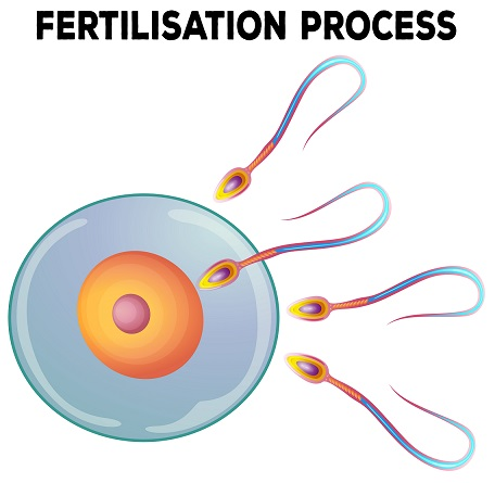 fertilisation process